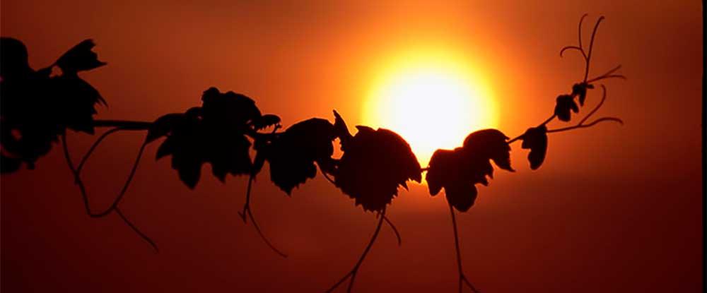 strubel-wein-lenk-weinzweig-sonnenuntergang-romantisch